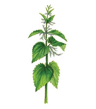 biljka-kopriva